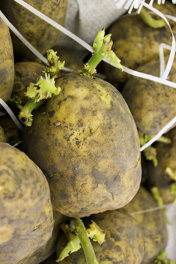Potato-seed