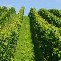 mesanica_za_vinograd
